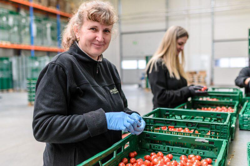 lidé na farmě_třídění rajčat_hranáček