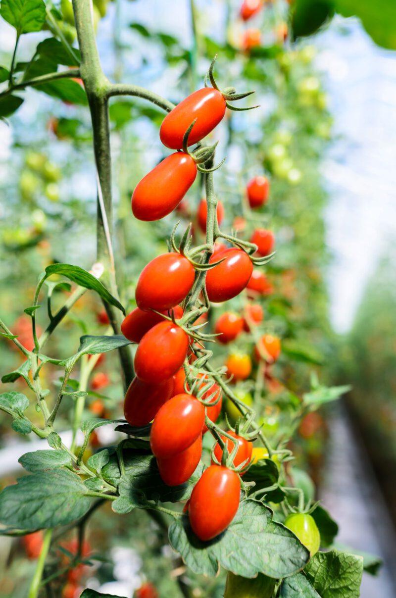 rajče-dozrávající