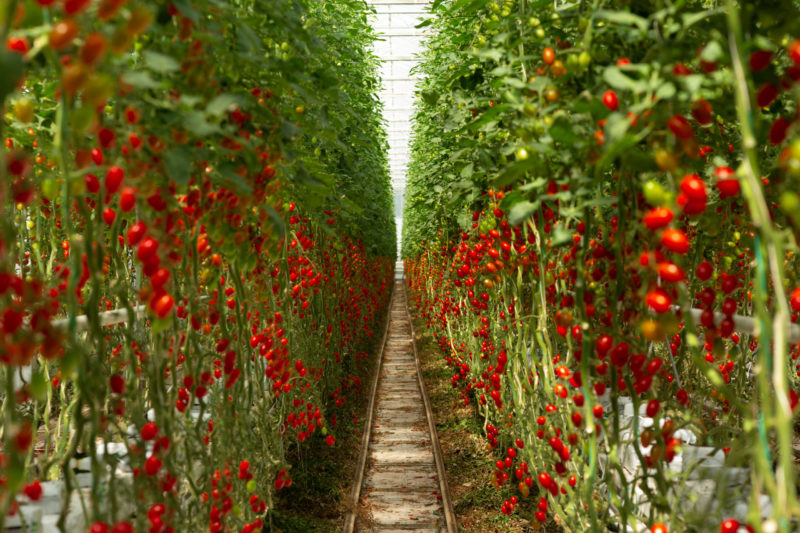 1_Foto pohled do řádku rajčat