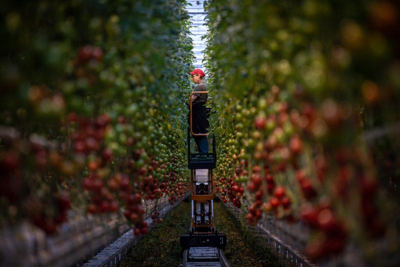 Dolní Lutyně, farma bezdínek, rajčata, rajče, tomata, sadba, výsadba rajčat